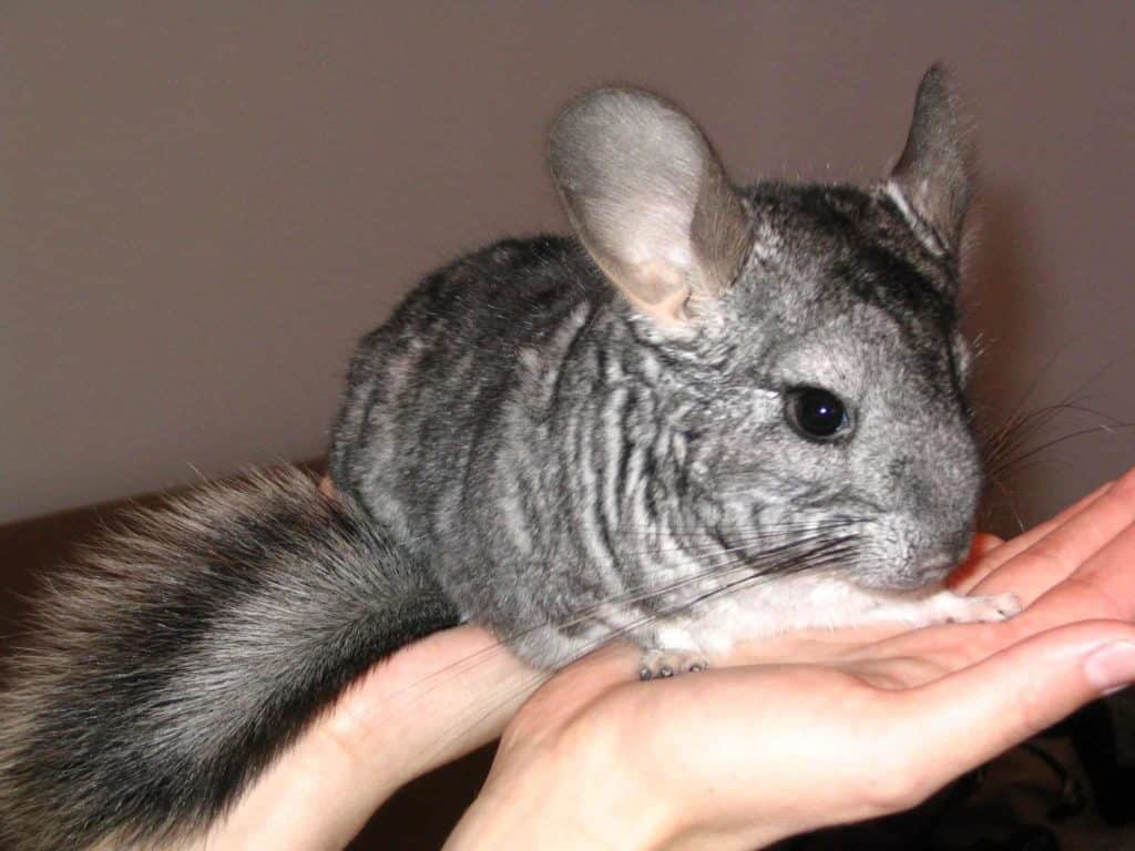 Chinchilla in person's hands