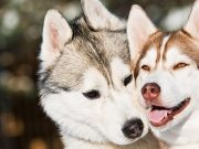 Two Alaskan Malamutes playing