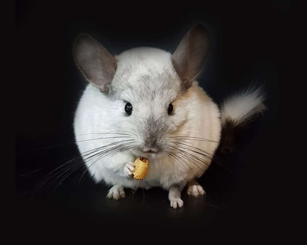 Chinchilla eating