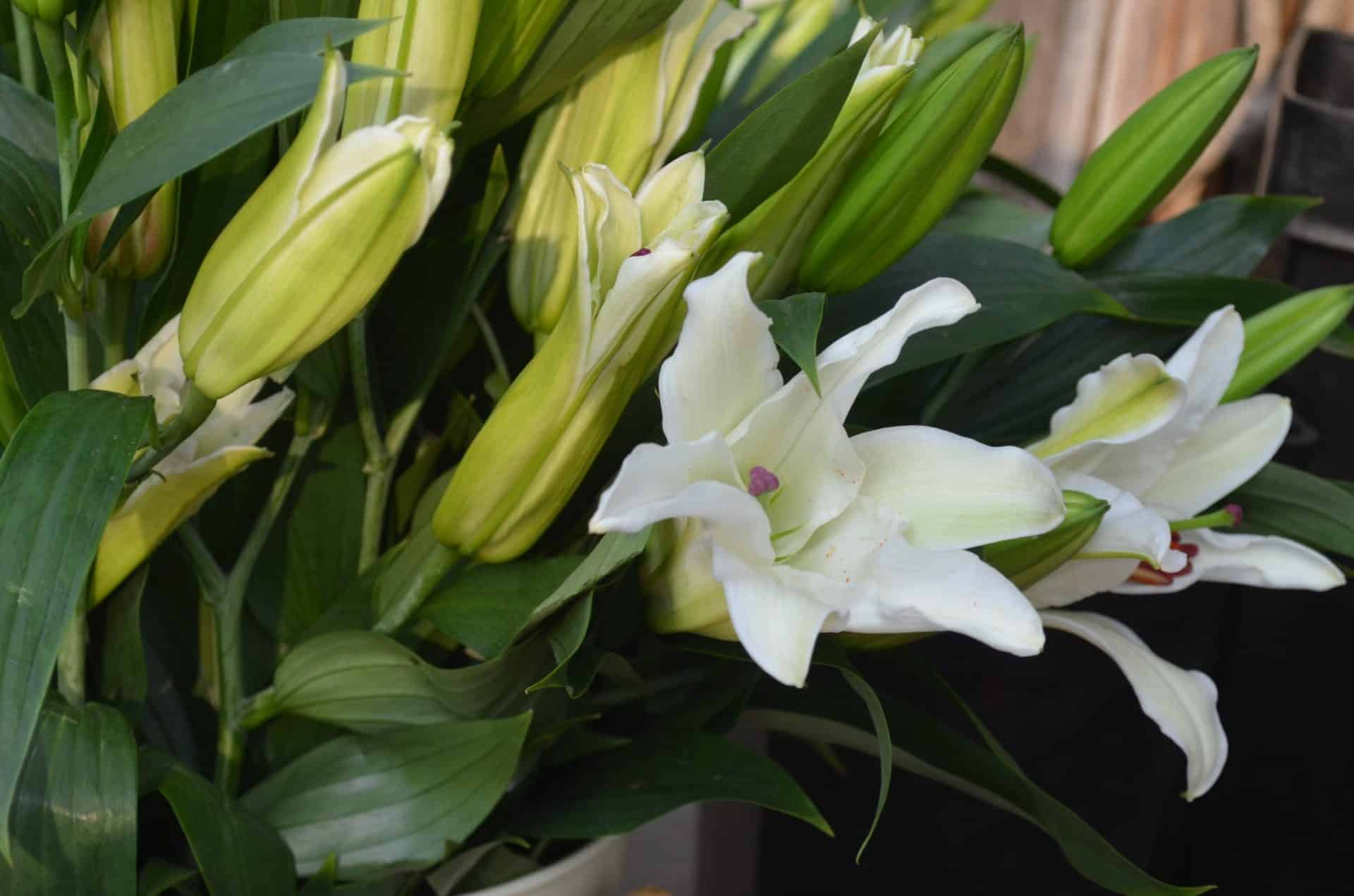 Common houseplants to be aware with cats and dogs vetbabble lilies lilies lilies are severely toxic izmirmasajfo