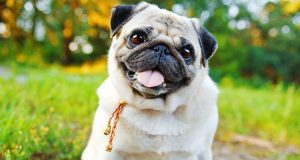 Pug sticking its tongue out in a meadow