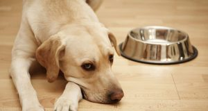 dog not eating