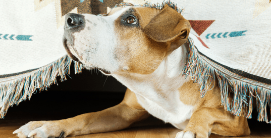 anxiety in dogs