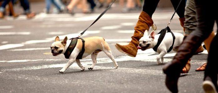 bulldog city walk