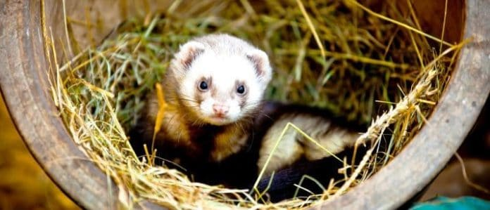 ferret in a log