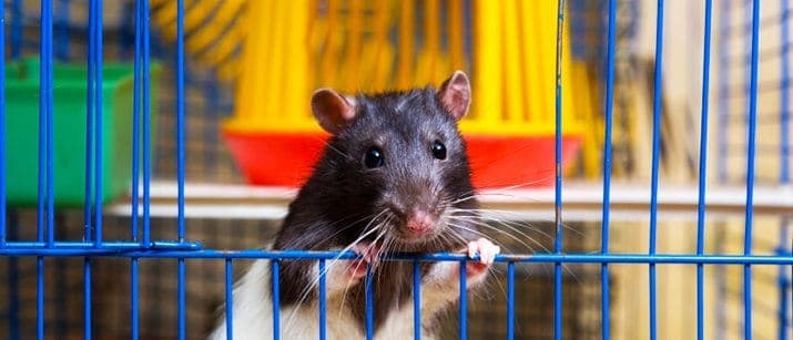 rat looking out of cage