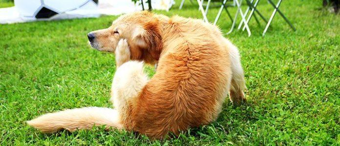 Dog scratching