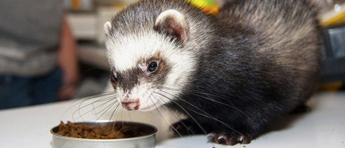 Ferret eating out of a bowl