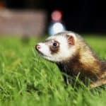 140225-Ferret-Grass[1]