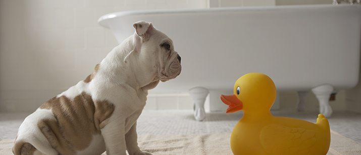 Puppy with a rubber duck