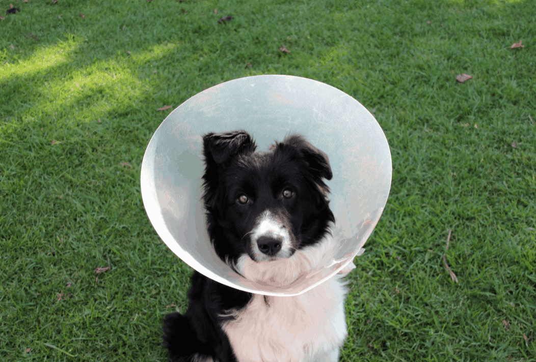 spay urinary incontinence in dogs