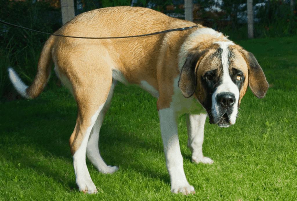 dog tail down