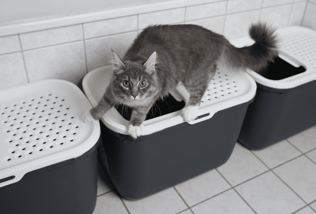 cat trying to pee
