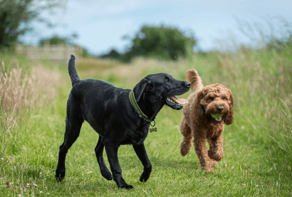 dogs playing together
