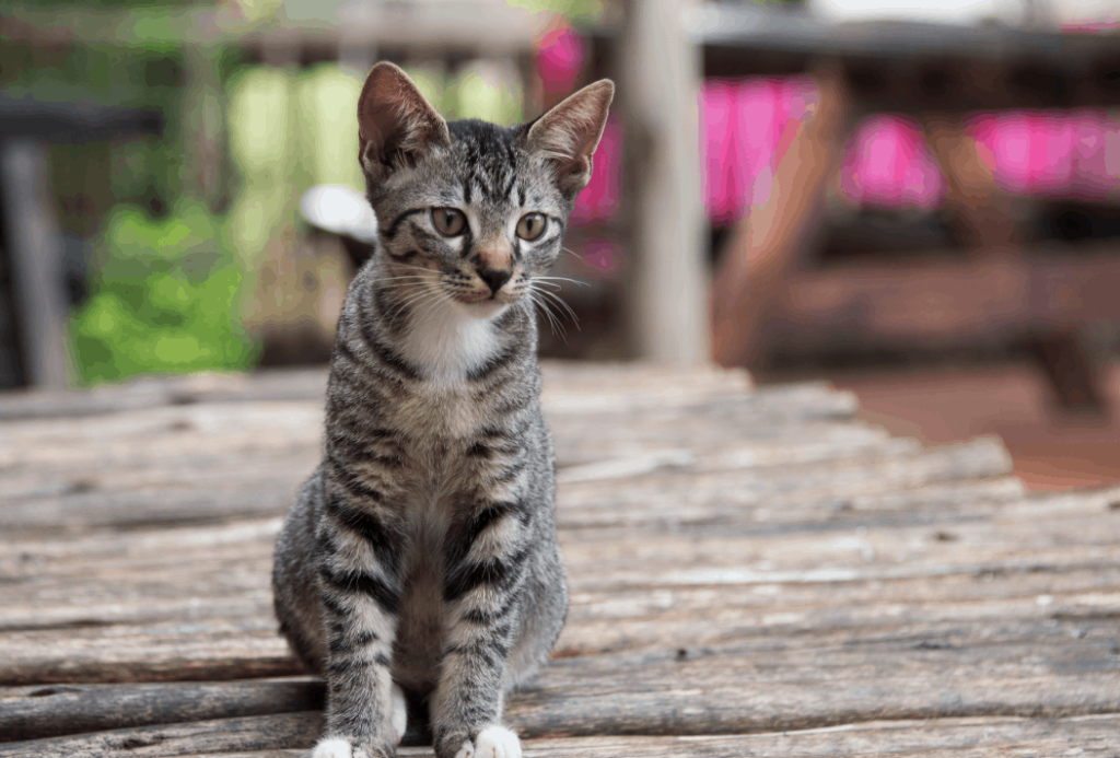 cats will achieve sexual maturity at a relatively young age