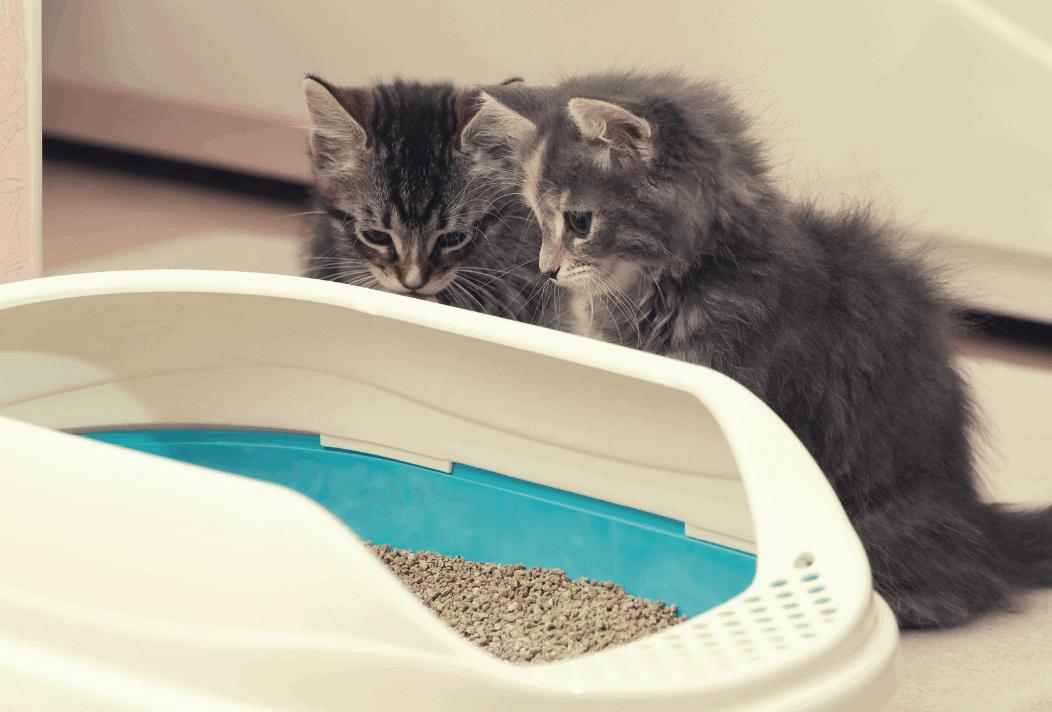kittens litter tray
