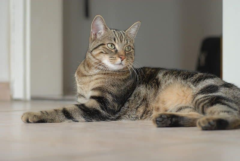Heartworm in Cats: Why Heartworm is Worse for Cats than Dogs