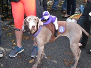 dog with racer on back