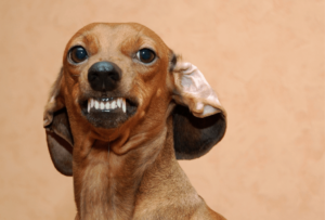 aggressive dog with ears back