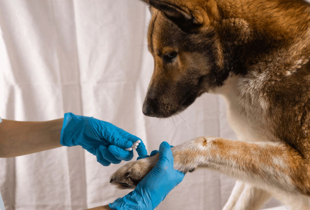 dog wound