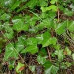 English-ivy1