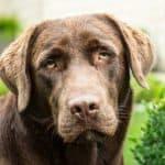 Labrador-Retriever-Chocolate