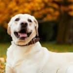 Labrador Retriever Breed Guide