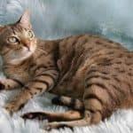 cat-breed_australian-mist