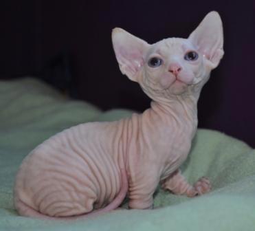 cat-breed_bambino