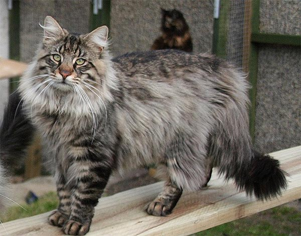 cat-breed_norwegian-forest-cat