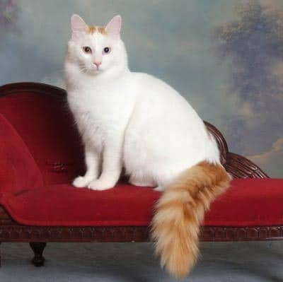 cat-breed_turkish-van