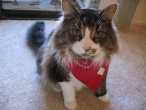 cat with bandana