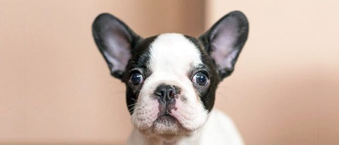 Boston Terrier Puppy