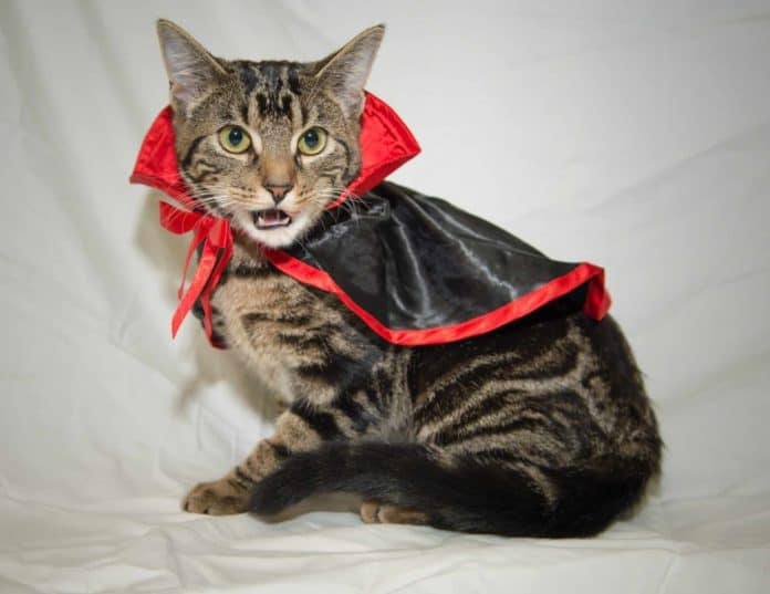 cat in dracula costume