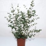 eucalyptus-plant-indoor-34-poisonous-houseplants-for-dogs-plants-toxic-to-dogs-balcony
