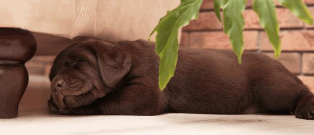 lethargic puppy