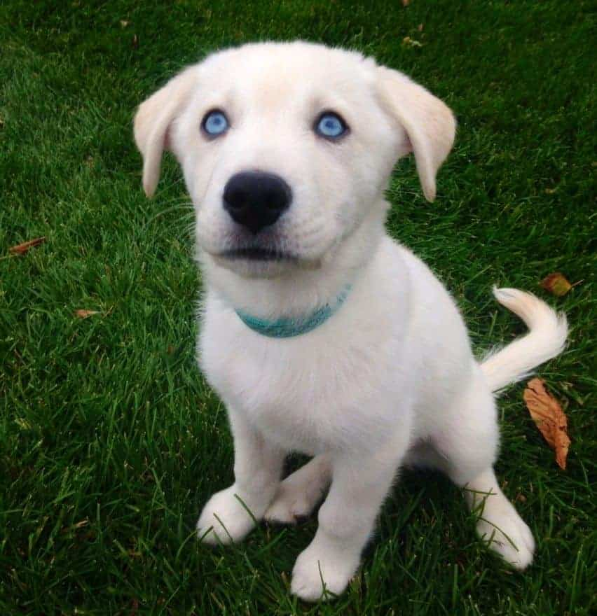 goberian puppy on grass