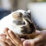 Guinea Pigs Were Kept as Pets in Elizabethan Times?