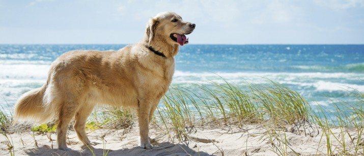 Golden Retriever on a beach