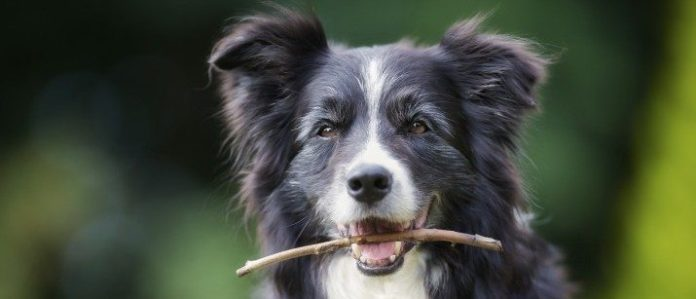 Dog with a stick in mouth