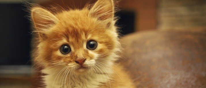 red kitten looking at the camera