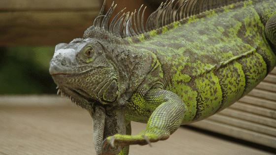 iguana walking