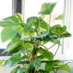 philodendron-n4-696×464