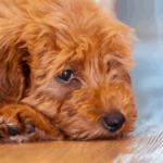 bladder stones in dogs