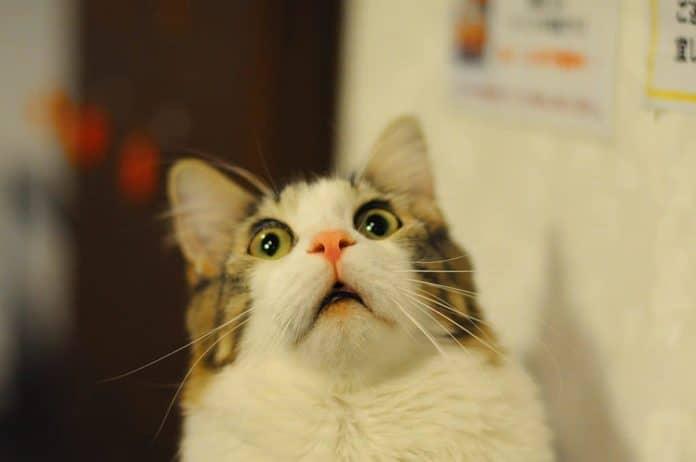 scared cat