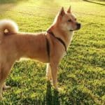 Shiba Inu: Everything You Need to Know Before Adopting a Shiba Inu