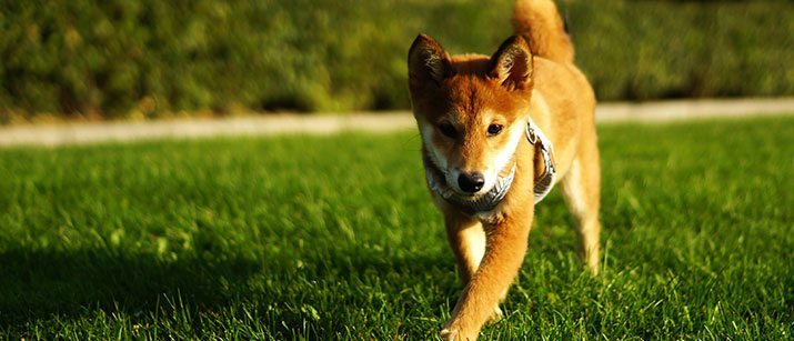 Shiba Inu playing in a park