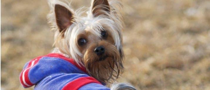 Yorkshire Terrier in a coat